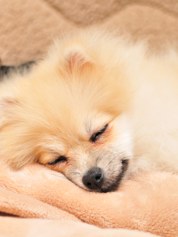 ポメラニアン 子犬 毛玉